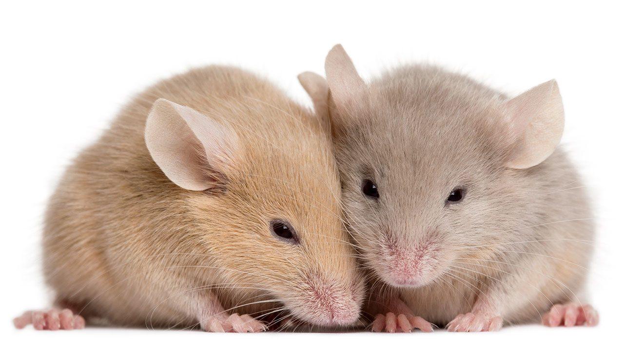 شركة مكافحة الفئران الفجيرة