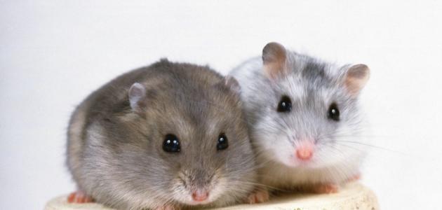 شركة مكافحة الفئران عجمان