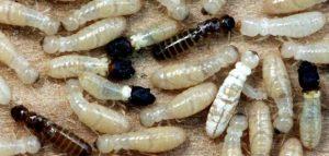 شركة مكافحة النمل دبي