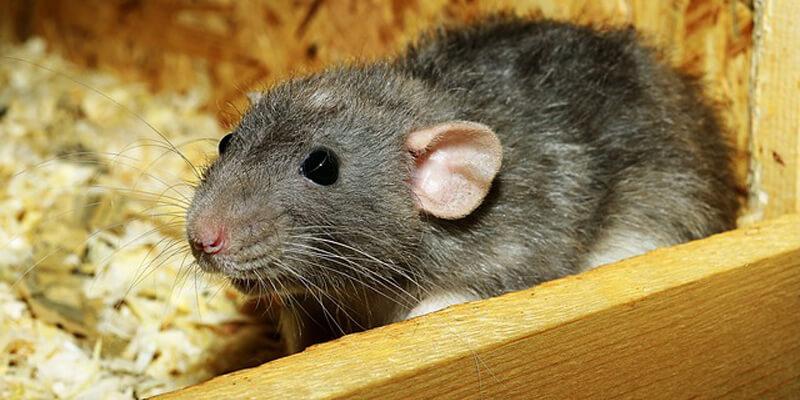 شركة مكافحة الفئران العين